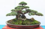 Tạo tán cây bonsai như thế nào là đẹp?
