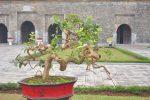 Ngắm thỏa sức với cây cảnh nghệ thuật ở Hoàng Thành Thăng Long