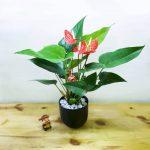 Ý nghĩa cây Hồng Môn trong phong thủy