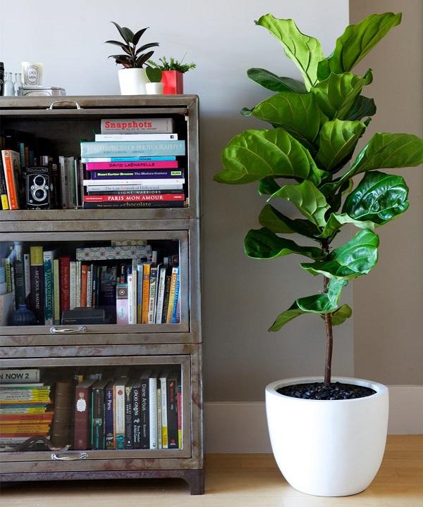 Với cây có kích thước lớn, bạn có thể đặt ở các góc trong phòng khách để tăng vẻ thẩm mỹ
