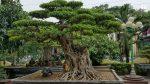 Cách tạo dáng cây sanh đẹp chuẩn như chuyên gia