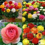 Những điều ít người biết về ý nghĩa và cách chăm sóc hoa hồng
