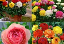 Mỗi màu hoa hồng mang một ý nghĩa riêng biệt