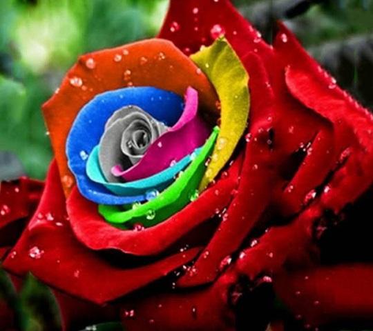 Hoa hồng này luôn toát lên thần thái kiêu kỳ mà không có loài hoa nào có thể bì kịp