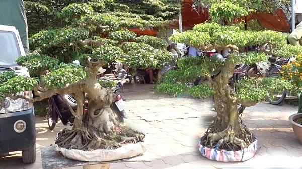 Giống Nam Điền phát triển chậm, lâu phá thế, một khi cây đã đẹp sẽ có tính ổn định cao.