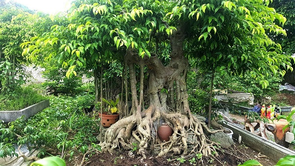 Một đặc điểm của cây sanh quê là khi về già thân trắng như đổ vôi, cây già có quả