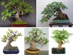 Làm sao để tạo dáng cây sung cảnh như một nghệ nhân?